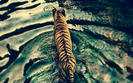 ecran, tigre, rivière, fonds, fond, traversant, gratuits,