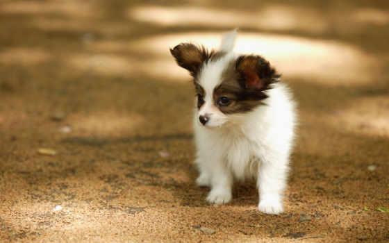 зооклуб, папильон, собаки, зооклубе, картинка, фото, собака, папийон, щенки, щенка, папильона,