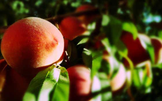 макро, фрукты, благо, персики, листва, солнца, rays,