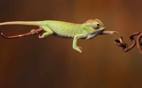 chameleon, small, фотографий, рисунки, перелазит, очень, avivas, головке, ветку, стоит, спичечной,