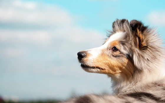 небо, fone, неба, собака, собаки, друг, породы, колли,