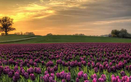 tulips, поле, purple, denmark, тюльпан, ultra, природа, flowers, розовый,