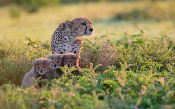гепард, animal, детёныш, кот, baby, животные, биг