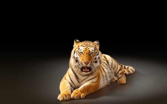 тигр, amur, хищник