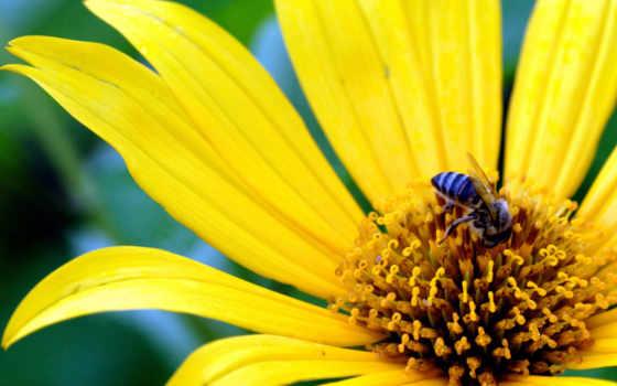 цветке, пчелка, цветы