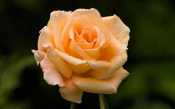 розы, роза, чайная, чайно, гибридной, высокорослой, case, winter, роз, elastic, именем,