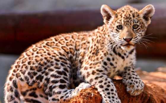 леопард, детёныш, котенок, browse, трава, страница, кот,