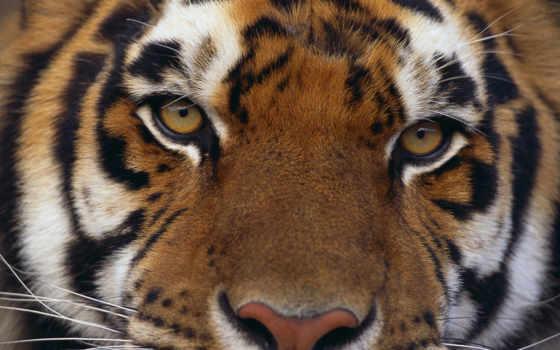 тигр, тигра, взгляд, тиграми, тигров, хищный, windows, zhivotnye, животных,