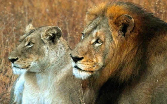 lion, львица, king