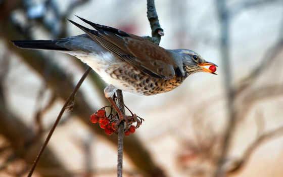 ветке, птица, рябина