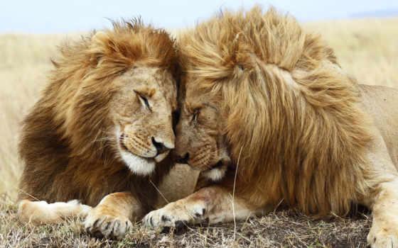 love, львиная, львы