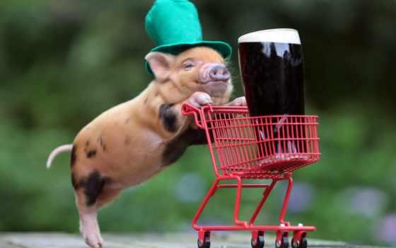 пиво, смешные, пива, повозка, прикольные, шляпа, свинка,
