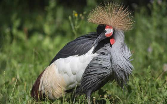 grey, free, crowned, crane, you,