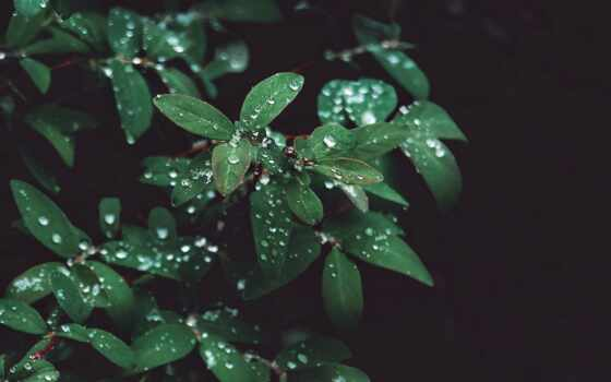 leaf, растение, drizzle, drop, bush