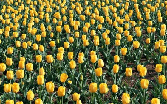 цветы, тюльпаны Фон № 2147 разрешение 1920x1080