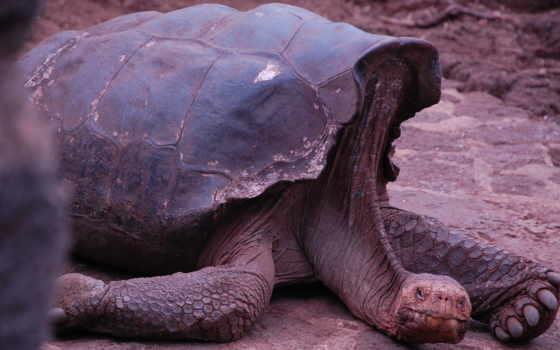 gigante, tartaruga, нояб