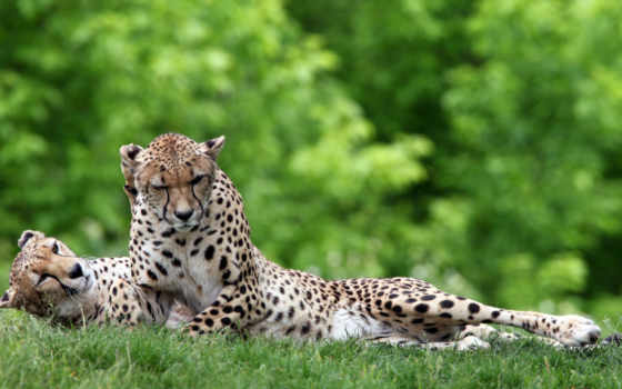 гепарды, gepard, трава