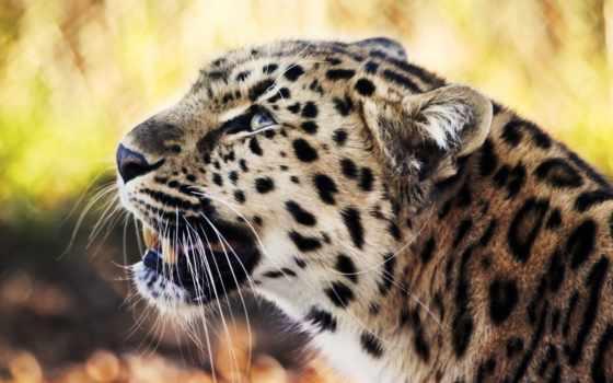 ус, леопард, ecran, animal, wild, fond,