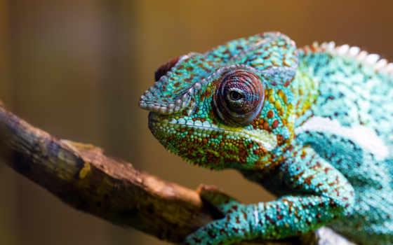 chameleon, free,