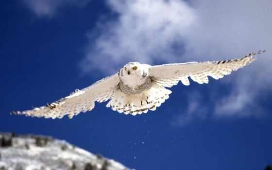 сова, белая, полете, заставки, разных, разрешениях, совы, полярная, птицы,