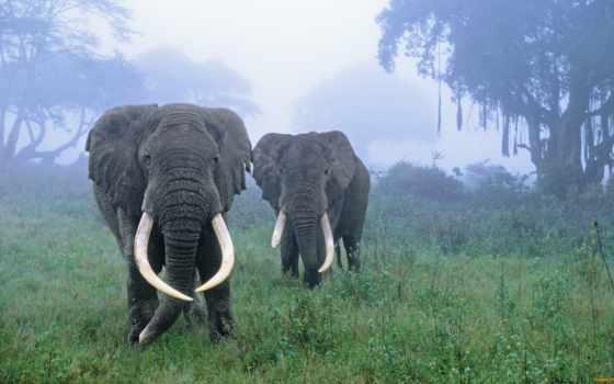 ngorongoro, площадь, сохранение, танзания, crater, слоны, card, бескрайних, among,