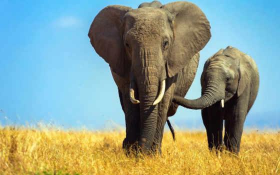 слоны, слон, телефона, саванна, природа, zhivotnye, african,