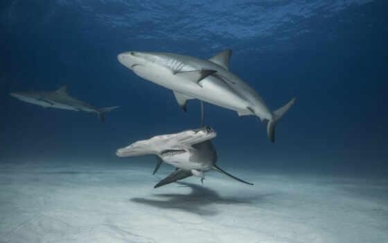 акула, ocean, hammerhead, хищник, море, картинка, life, animal, bahama