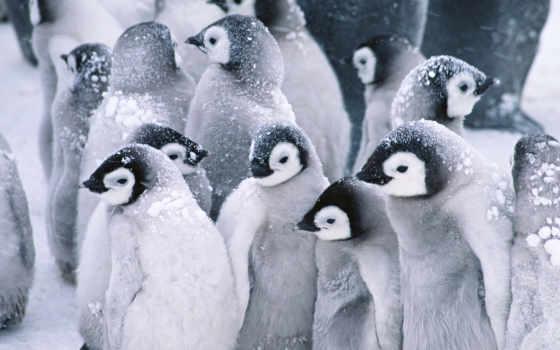 пингвины, животные