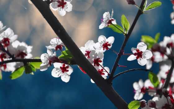 blossoms, цветы, desktop
