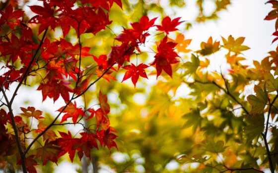 листья, дерево, бордовые