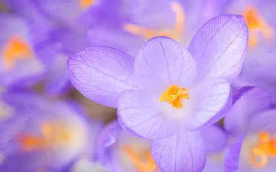 весна, цветы, desktop, крокус, cvety, color, страница, flowers,