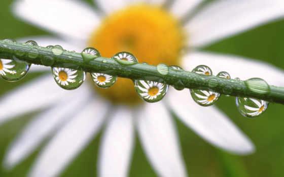 ромашки, ромашка, цветами, cvety, красивые, капли, цветов, природа, waters, под, старину,
