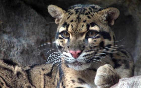 clouded, leopard
