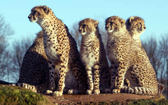 animals, mywallbook, leopards