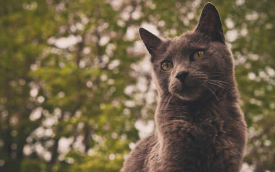 кот, серый, фон