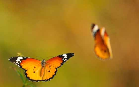 бабочка, оранжевый, пара, butterflies, качество, high