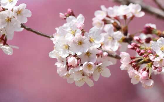 branch, Сакура, розовый, yablonya, цветы, фон, весна, цветение, пушистик, japanese, flare