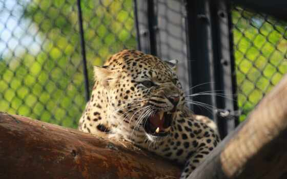 оскал, кошка, дикая, хищник, марта, past, леопард, морда,