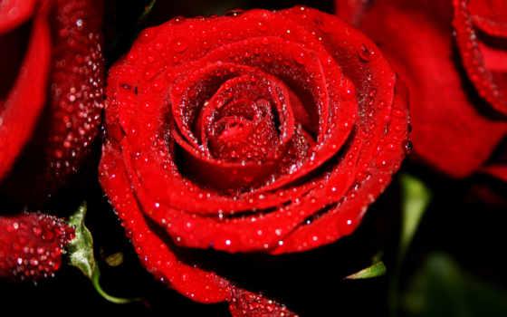 цветы, капли, red