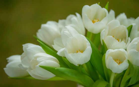 тюльпаны, белые, букет, нежность, тюльпанов,