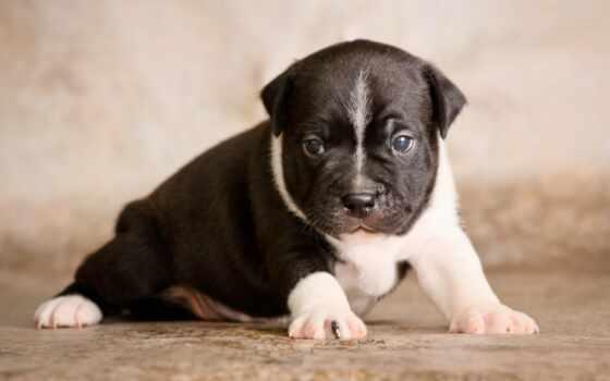 бультерьер, стаффордширский, щенок, собака, бультерьер, нужный, staffordshire