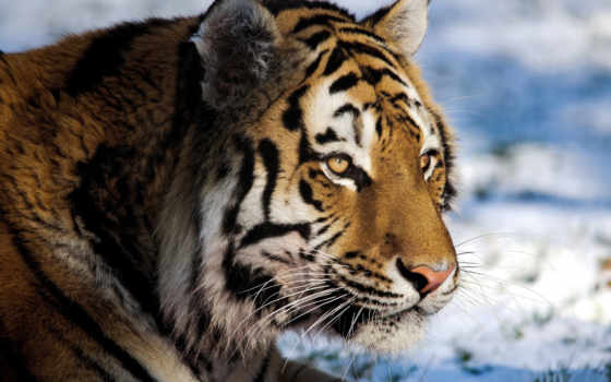 тигр, морда Фон № 19400 разрешение 1920x1200