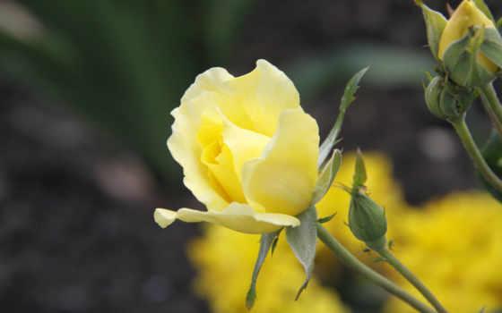 цветы, роза, растение