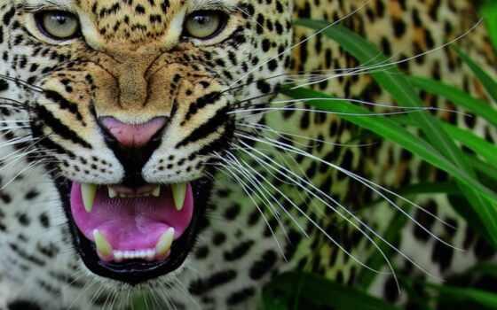 леопарды, леопард, zhivotnye, оскал, кошки, большие, клыки,