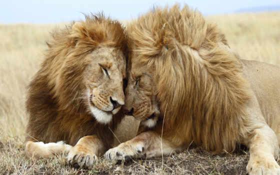 львица, семья, love, lion, львиная, белые, львы, львята, лебеди, львенок, трава,