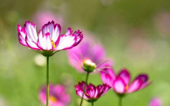 cvety, лепестки, petals, cosmos, стебель, фона,