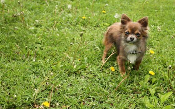 собака, трава, прогулка