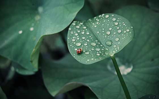 божья, коровка, summer, каплями, листе, росы, капли, летние, зеленом, насекомое,
