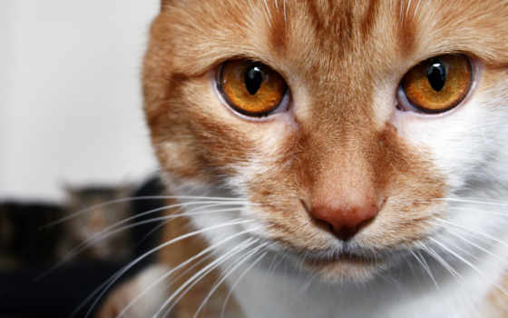 кот, red, смотрит, карие, eyes, white, макро, свет,