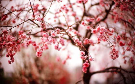 Сакура, cvety, весна, дерево, цветущая, cherry, розовые, боке, flowers, color,